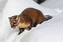 American Pine Martin (Martes americana) hunting in the snow. Yellowstone National Park, Wyoming, USA. January