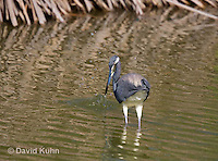0830-0914  Tricolored Heron Wading in Marsh, Striking Water for Prey, Louisiana Heron, Egretta tricolor © David Kuhn/Dwight Kuhn Photography