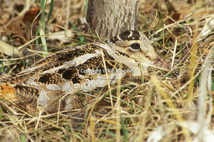 01262-013.11 American Woodcock hen on nest is displays amazing cryptic coloration in early spring. Hunt, camouflage.
