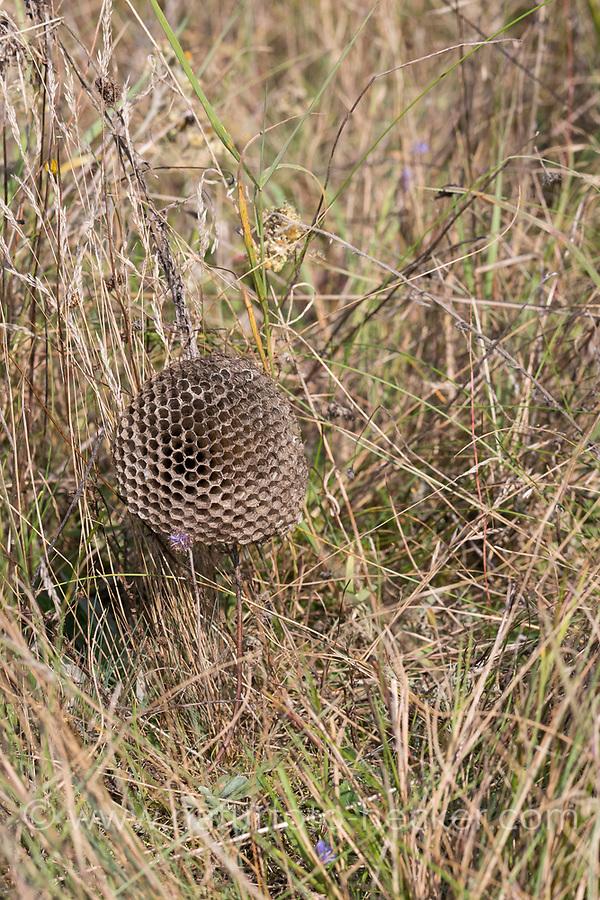 Heide-Feldwespe, Heidefeldwespe, Feldwespe, an ihrem Nest, Polistes nimpha, polistine wasp, Faltenwespen, Feldwespen