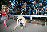 Jules Lawson, 4, walks her peg-leg dog Butters, 13, past the judges during the Scallywaggers Pirate Pup Parade at the Brewery Arts Center, in Carson City, Nev., on Wednesday, Sept. 18, 2019. Butters won the Crew Favorite category. <br /> Photo by Cathleen Allison/Nevada Momentum