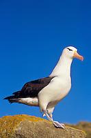Black-browed Albatross or Black-browed Mollymawk (Thalassarche melanophrys),  Falkland Islands