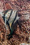 angelfish swimming left, vertical