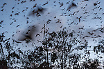 Motion blur of Little Red Flying-fox (Pteropus scapulatus) flying out of their roost after sunset to forage in the forest. This massive colony, estimated to peak at about 100,000 bats, took up residence along the Wild River of Heberton sometime early Dec 2013 with the mass flowering of the eucalyptus trees or Inland White Mahogany with the little reds seeking its nectar and pollen.  By The Little Red Flying-fox is a species of megabat native to northern and eastern Australia. With a weight of 280–530 grams (9.9–18.7 oz) it is the smallest flying fox in mainland Australia (the others being the black, spectacled and grey-headed flying foxes).