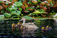 Female mallard (Anas platyrhynchos) with ducklings.