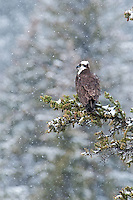 Osprey in the snow in Yellowstone National Park