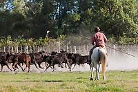 Europe/France/Provence-Alpes-Côte d'Azur/13/Bouches-du-Rhône/Env d'Arles/Le Sambuc:   Tri des taureaux à la Manade Blanc