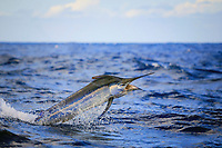 black marlin, Istiompax indica (formerly Makaira indica), jumping With Bird In The Background, New South Wales, Australia, South Pacific Ocean