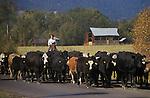 Woman herding cattle on road near town of Halfway in eastern Oregon.