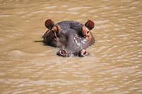 Hippopotamus, Hippopotamus amphibius, in a pond in Maasai Mara National Reserve, Kenya