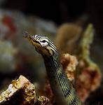 Network Pipefish, Corythoichthys flavofasciatus, Lembeh Straits; Sulawesi Sea; Indonesia; Amazing Underwater Photography