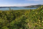 Italien, Umbrien, Weinanbau am Lago di Corbara , zwischen Orvieto und Todi | Italy, Umbria, wine growing at Lago di Corbara near Orvieto
