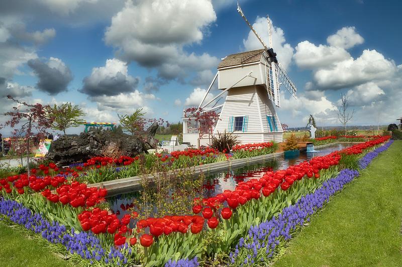 Tulip garden and windmill. Tulip Town. Mt. Vernon. Washington