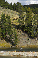Fly fisherman on Yellowstone River with head butting baffalo. Yellowstone National Park, Wyoming