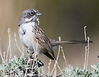 Sagebrush sparrow