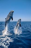 bottlenose dolphins, Tursiops truncatus (c-r), jumping Roatan, Honduras (Caribbean)