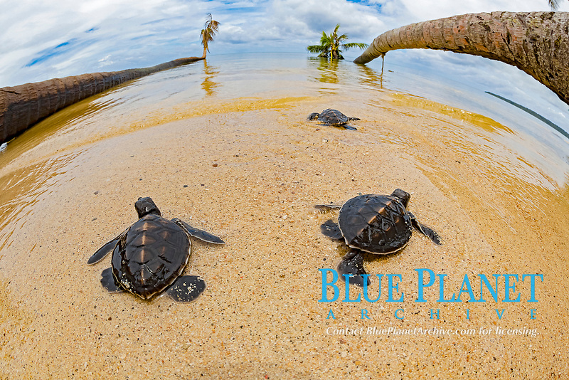 three newly hatched baby green sea turtles, Chelonia mydas, making thier way across the beach to the ocean, Yap, Micronesia, Pacific Ocean