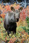 Moose yearling, Denali National Park, Alaska