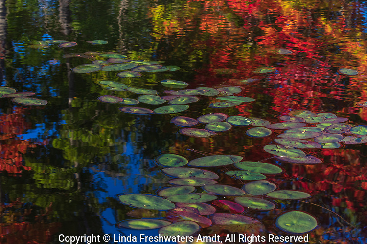 Fall colors reflected among the water lilies on a northern Wisconsin lake.