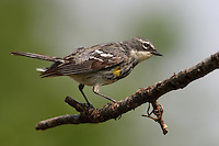 This Yellow-rumped Warbler is just beginning to come out of a Spring molt..<br /> Yellow-rumped Warblers are fairly large, full-bodied warblers with a large head, sturdy bill, and long, narrow tail.