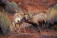 DESERT BIGHORN SHEEP/Nelson's Bighorn Sheep.  .Ram sniffs ewe's urine seeking clues of readiness for mating. This subspecies of the Rocky Mountain Bighorn Sheep has adapted to hot, dry climates by developing longer legs, lighter coats and smaller bodies..Autumn. Arches National Park, Utah. U.S.A..(Ovis canadensis nelsoni)