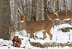 White-tailed deer deep within the northern forest of Wisconsin.