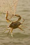A Chesapeake blue crab hangs from a dip net.