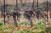 Chateau St Martin de la Garrigue. Languedoc. Vines trained in Guyot cane pruning. Old, gnarled and twisting vine. France. Europe. Vineyard.