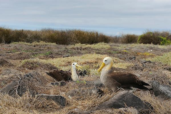 Galapagos Albatross (Diomedea irrorata), pair on nest, Espanola Island, Galapagos, Ecuador, South America