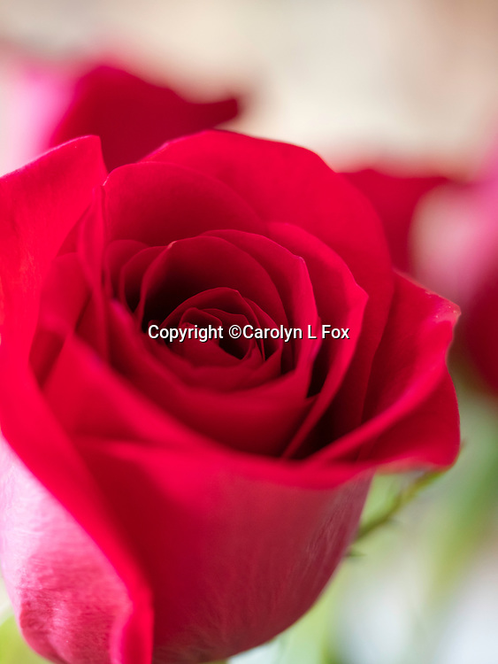 Red roses are a symbol of love.