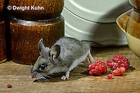 MU56-030z   Deer Mouse - immature young in kitchen  - Peromyscus maniculatus