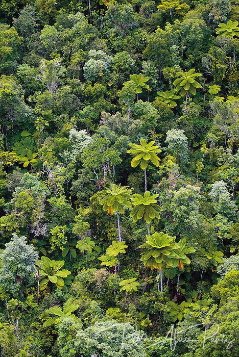 Au milieu de la chaine centrale, une forêt de fougères arborescentes