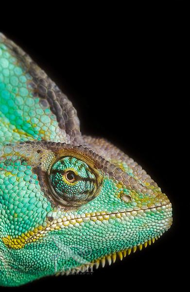 Veiled Chameleon (Chamaeleo calyptratus) male. Native to mountain regions of Yemen, UAE & Saudi Arabia. Captive.