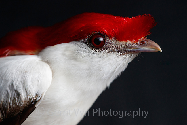 The critically endangered Araripe Manakin (male pictured here) was discovered in 1996 and is one of the world's most striking songbirds. It inhabits an extremely small range in northeast Brazil on the slopes of the arid Araripe Plateau. Less than 1000 individuals remain in 11 square miles of fragmented, second-growth gallery forest surrounding spring-fed streams where they nest. Despite their limited range and numbers there is real hope for this bird and the Brazilian NGO Aquasis, with support from the American Bird Conservancy, is leading conservation efforts.