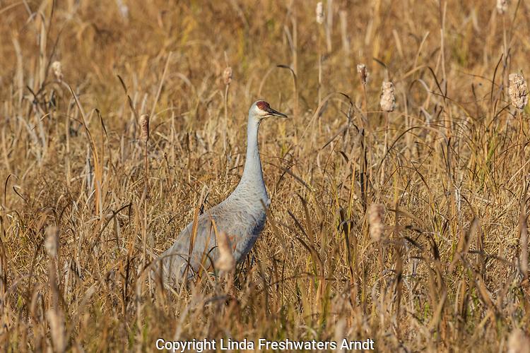 Sandhill crane feeding in a field at Crex Meadows.