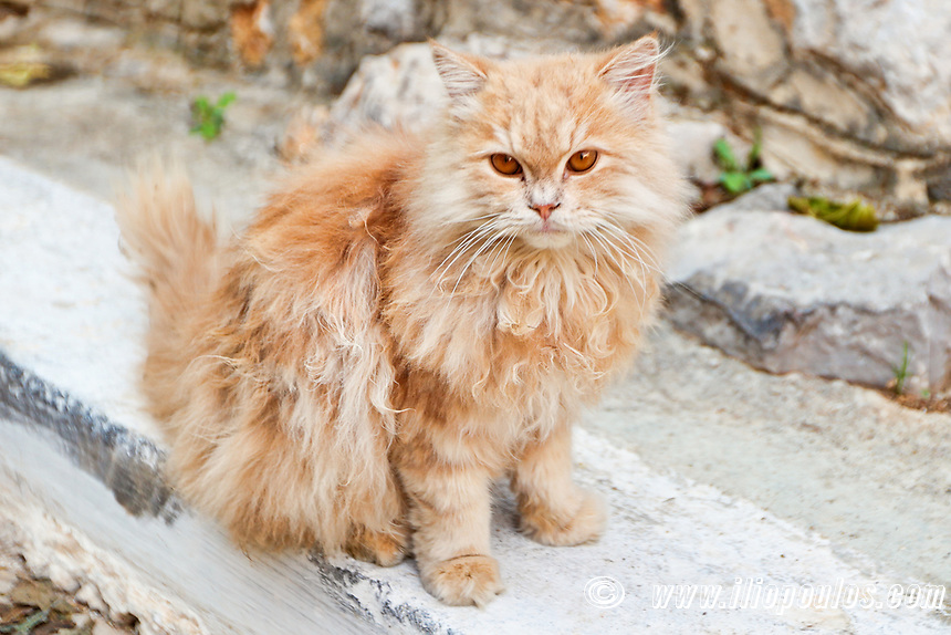 A cat in the medieval village of Vessa on the island of Chios, Greece