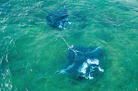 An aerial image of manta rays near the Kane'ohe Sandbar off of O'ahu.