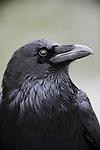 Profile of a raven, California.