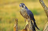 Peregrine Falcon. (Falco peregrinus anatum).  Summer. Rocky Mountains, Canda.