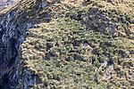 Gray-headed Albatross Nesting