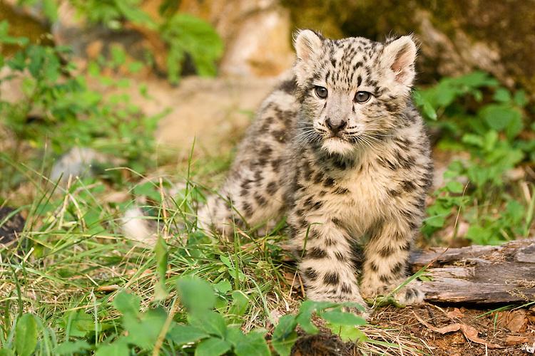 Snow Leopard kitten standing amongst the forest greenery - CA