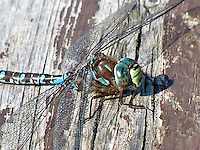 This large, colorful dragonfly left one of my favorite anecdotes behind with this photo. He came and sat down on the bench beside me for about 10 minutes, almost by divine appointment, after I'd been frustrated trying to catch them in flight at the shore of the lake.