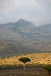 Dragon's blood tree (dracanea cinnabari) on the Diksam plateau. Socotra island. Yemen