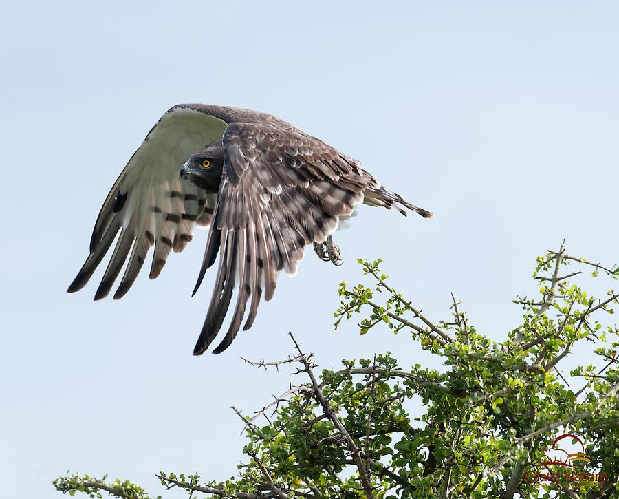 Black-breasted Snake Eagle (Circaetus pectoralis) takes off, Masai Mara