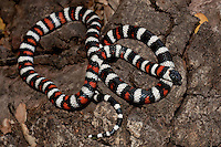 439350008 a captive wildlife rescue california mountain king snake lampropeltis zonata parvirubra coiled on  downed tree in the san gabriel mountains of southern california united states