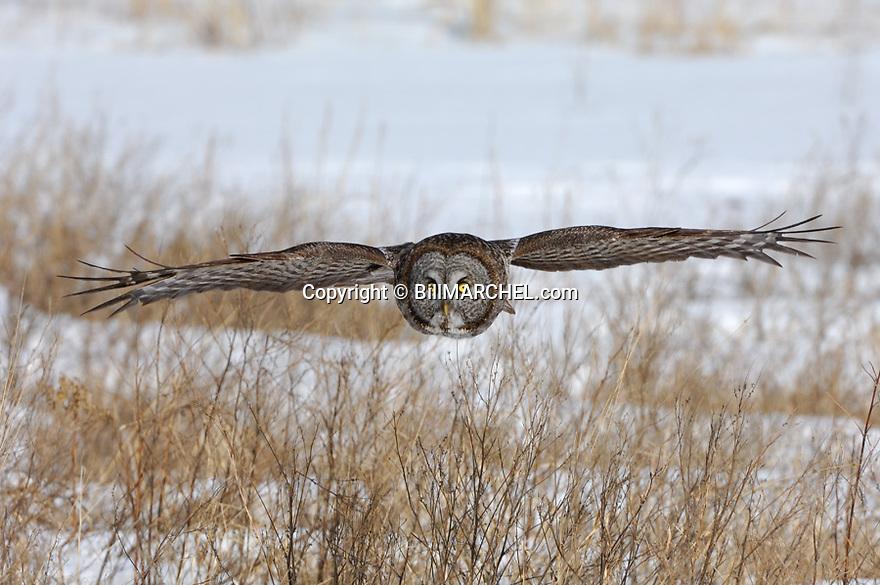 00830-048.17 Great Grey Owl in flight on silent wings over grassy meadow.  Predator, raptor, bird of prey.  H8F1