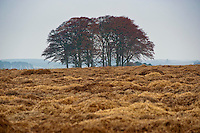 Straw covering carrots for over-wintering, Forfar, Angus, Scotland.