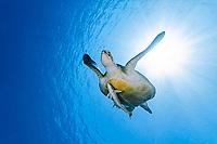 green sea turtle, Chelonia mydas, with live sharksucker ,or slender sharksucker, Echeneis naucrates, endangered species, Marsa Mubarak, Marsa Alam, Egypt, Red Sea, Indian Ocean