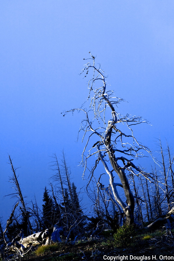 A lone fire damaged pine stands before valley fog at dawn in Olympic National Park, Washington. Olympic Peninsula