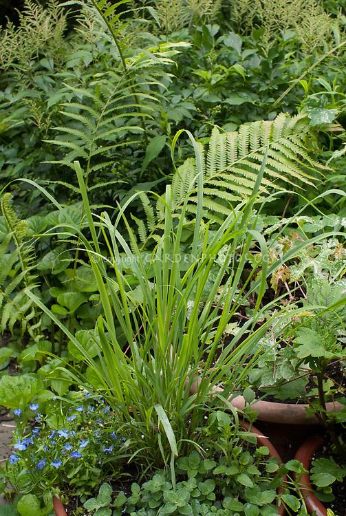 Cymbopogon citratus lemongrass in pot with Lobelia erinus, Matteuccia, containers,